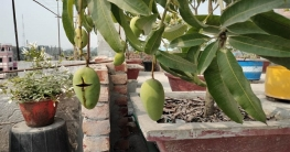 ঠাকুরগাঁওয়ে বাড়ির ছাদে হরেক রকম ফুল-ফল-সবজি
