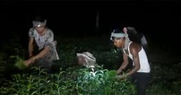 পঞ্চগড়ে রাতের আঁধারে চা-পাতা তুলেসচ্ছল শ্রমিকরা